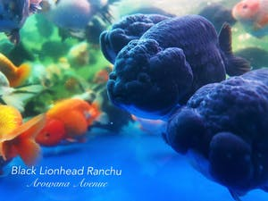 Black Lionhead Ranchu (Self Collect Only)