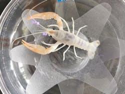 Crayfish - B Grade Cow (E55)
