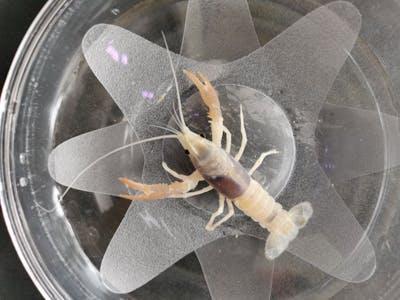 Crayfish - B Grade Cow (E50)