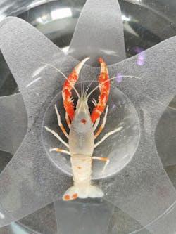 Crayfish - Tancho Sakura Claw (B29)