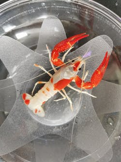 Crayfish - Koi Patterned Championship Grade (H104)