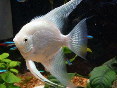 Silver Angelfish