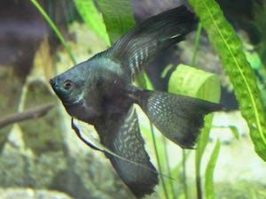 Veil Angelfish