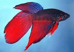 Long tail Betta (fighting fish)