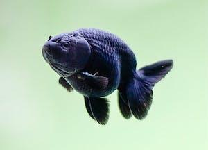 Black Ranchu Goldfish