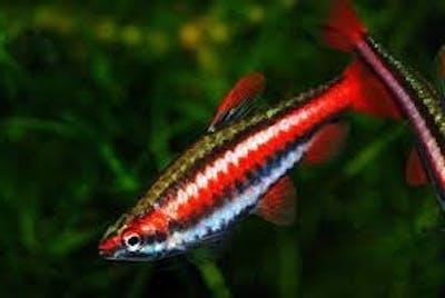 Coral Red Pencilfish
