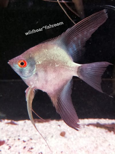 Bulgarian seal point angelfish