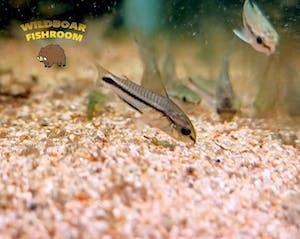 Corydoras pygmy (5 pieces)