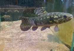 Black Wolf Fish