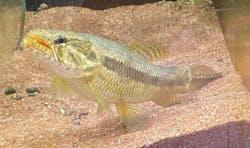 Aimara Wolf Fish
