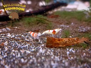 Crystal Red Shrimp (CRS) (Caridina)