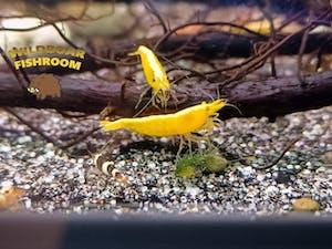 Golden back yellow shrimp (Neocaridina)
