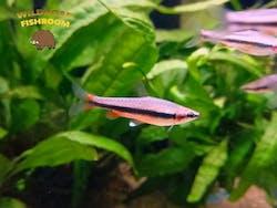 Golden Pencilfish