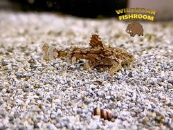 Hara jerdoni (Asian Stone Catfish)