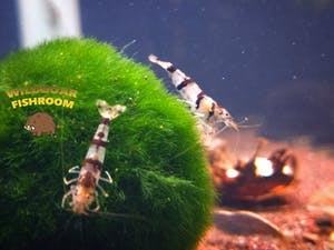 Racoon tiger shrimp (Caridina)