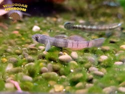 Red Belt Goby