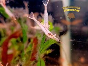 Red nose shrimp (Caridina gracilirostris