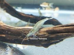 Yamato Shrimp