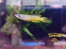 Yellow Panchax Killifish