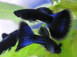 Dark Blue Guppy (1 pair)