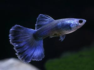 Moscow Blue Guppy (1 pair)