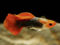 Red Cap Red Tail Guppy (1 pair)