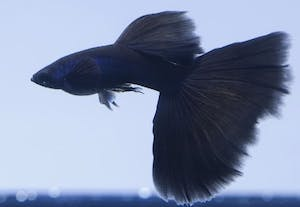 Black Moscow Guppy (1 pair)