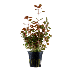 TCulture Ludwigia Palustris Super Red