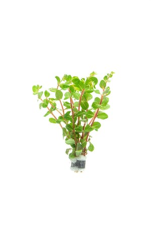 TCulture Rotala Blood Red