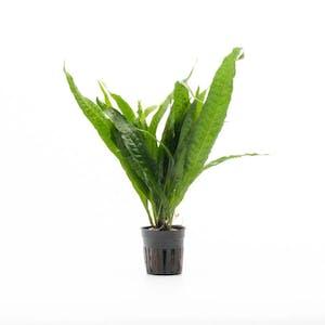 TCulture Microsorum Pteropus Philippine