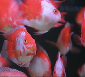Red White Parrotfish