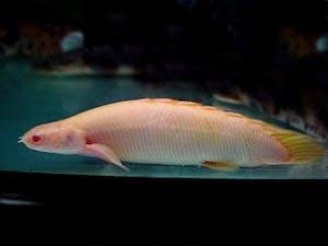 Short Body Albino Bichir