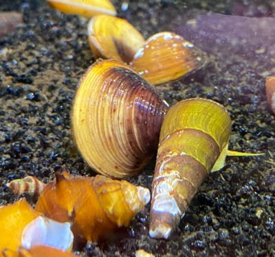 Freshwater Clams