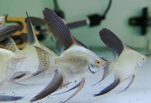 Bulgarian Silk Point Angelfish