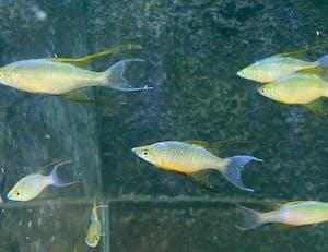 XL Threadfin Rainbow
