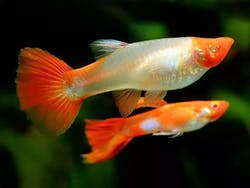 Albino Koi Guppy (1 Pair)