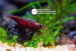 Red Onyx Shrimp