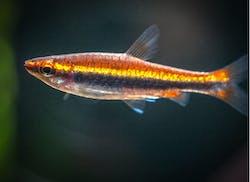 Red Beckfords Pencilfish