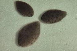 Solefish