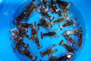 Devil Crayfish
