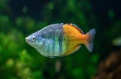 Boesemani Rainbowfish