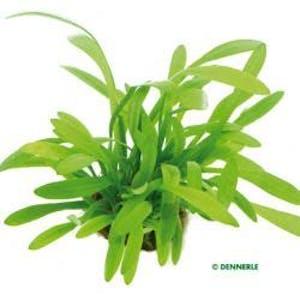 Dennerle Sagittaria subulata var. pusilla in Pot