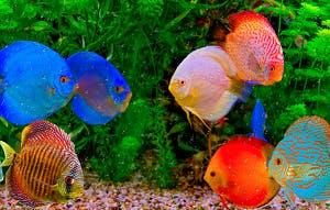 Discus - various colors