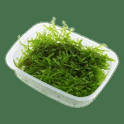 Tropica Vesicularia dubyana Christmas Moss