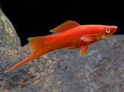 Red Eye Swordtail