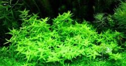 Elatine Triandra (APP plant)