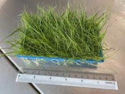 Eleocharis Acicularis (Hairgrass)