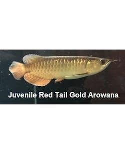 Juvenile Red Tail Gold Arowana