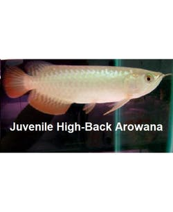 Juvenile High Back Arowana