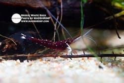 Sulawesi White Sock Caridina Shrimp